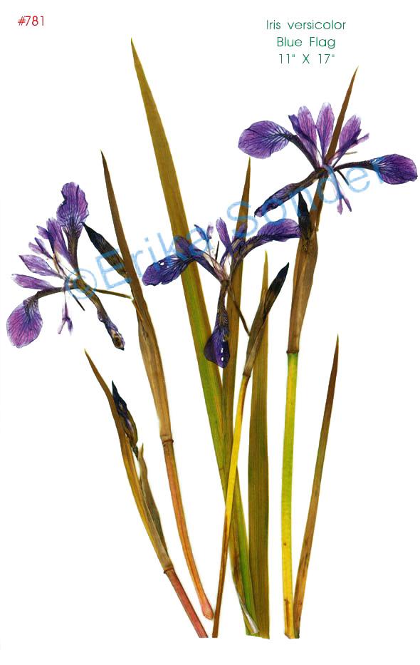 Blue Eyed Grass Drawing Blue Violet Northern Viola